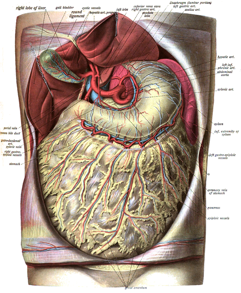 omentum illustration Jonhannes Sobotta